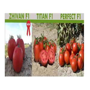 بذر گوجه ژیوان و تیتان و پرفکت