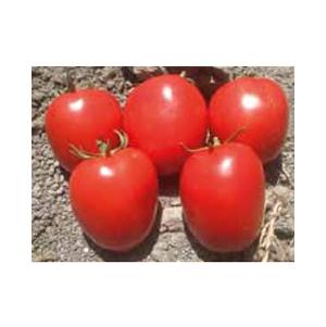بذر گوجه رقم هیبرید 6108 بذر آفتاب