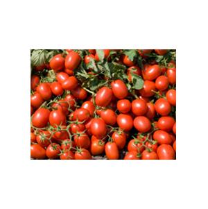 بذر گوجه رقم هیبرید ادونس بذر آفتاب