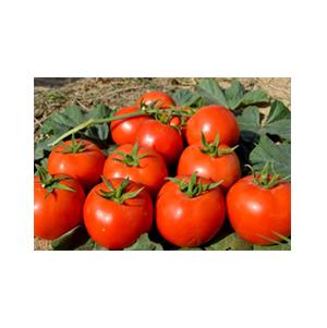 بذر گوجه رقم هیبرید تالاویس بذر آفتاب