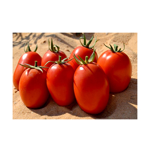 بذر گوجه رقم هیبرید یارادت بذر آفتاب