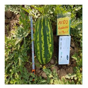 بذر هندوانه دومارا