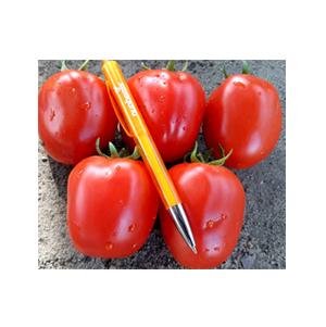بذر گوجه رقم هیبرید فرمونت بذر آفتاب