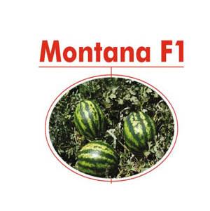 بذر هندوانه مونتانا